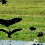Living Doñana – Sergio Gonzalez Asian – Glossy Ibis – Blue Sky Wildlife – Blue Sky Wildlife