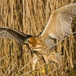 Great-Bittern