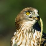 Living Doñana – Sergio Gonzalez Asian – Short-toed Eagle – Blue Sky Wildlife