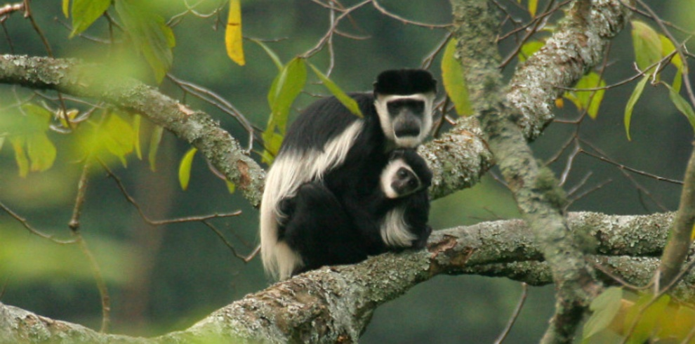 Black-and-white-Colobus