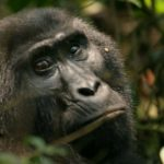 Livingstone African Safaris – Wildlife – Gorilla -Blue Sky Wildlife