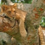 Livingstone African Safaris – Wildlife – Lion – Blue Sky Wildlife