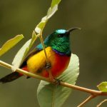 Regal-Sunbird
