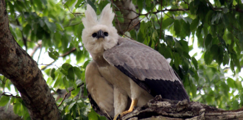 Luis Segura – Trogon Tours – Harpy Eagle – Blue Sky Wildlife