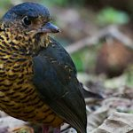 Luis Segura – Trogon Tours – Landing Page – Undulated Antpitta – Blue Sky Wildlife