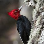 Luis Segura – Trogon Tours – Magellanic Woodpecker – Blue Sky Wildlife