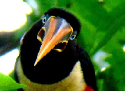 Chestnut ear Aracari