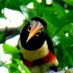 Chestnut-ear-Aracari