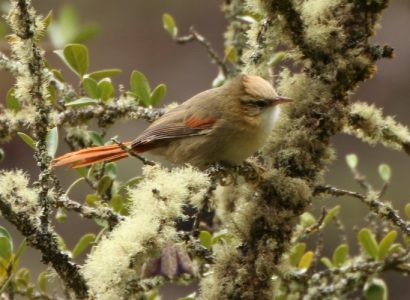Five Cusco Endemic Birds tour