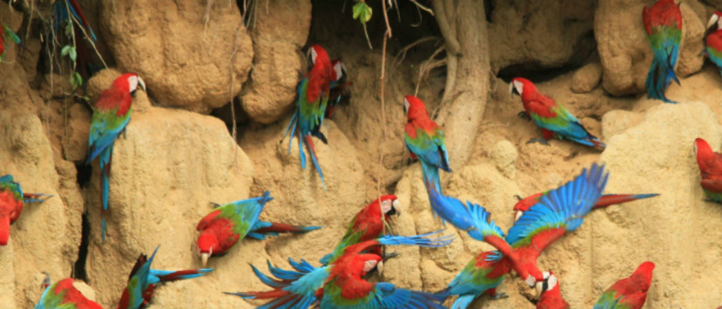 macaws on the clay link in Peru