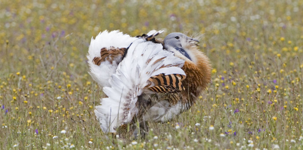 Great-Bustard - Birds of Extremadura