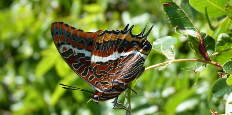 Two-tailed-Pasha