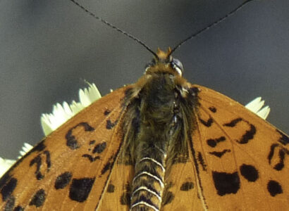 Butterfly Holiday Spotted Fritillary