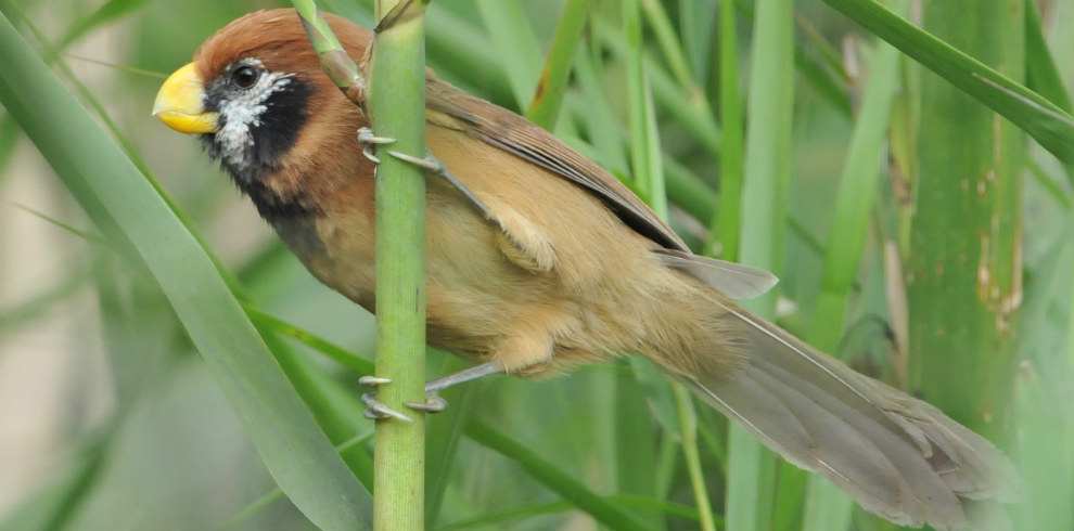 Birds and Tigers North India Tour -Black-breasted-Parrotbill