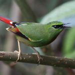 Firetailed
