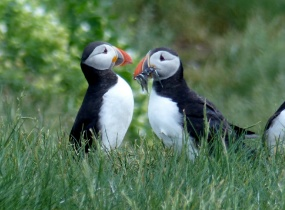 Two Atlantic Puffins facing each other in grass North Wales