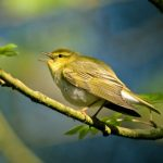 Ruth Miller – Birdwatching Trips – Best of North Wales 5 days – Wood Warbler – Blue Sky Marketing.jpg
