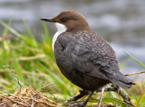 Eurasian Dipper full size against grass North Wales