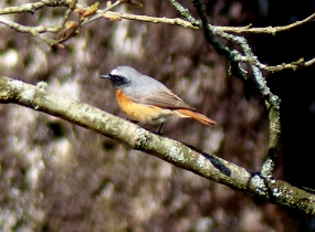 Ruth Miller – Birdwatching Trips – Best of North Wales daytrips – Common Redstart – Blue Sky Marketing.jpg