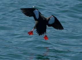 Black Guillemot coming into land with feet outstretched North Wales