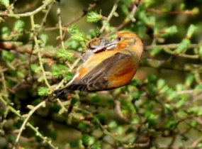 Common Crossbill pickes at cone North Wales