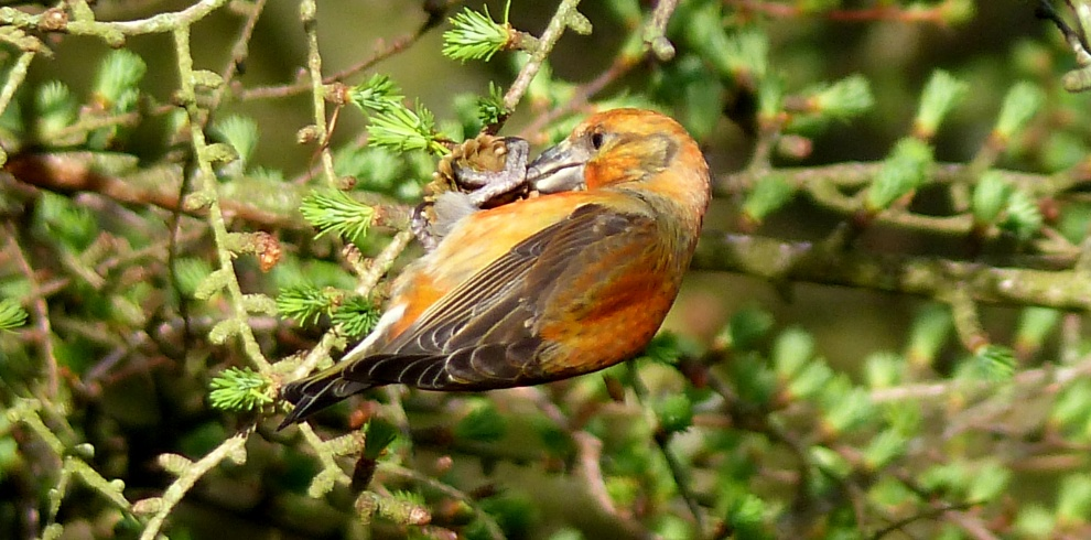 Ruth Miller – Birdwatching Trips – Common Crossbill – Blue Sky Marketing.jpg