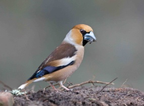 Male Hawfinch on ground facing right North Wales