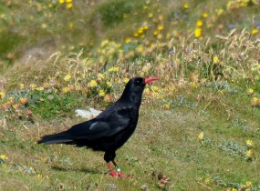 Red-billed Chough facing right on grass with flowers North Wales