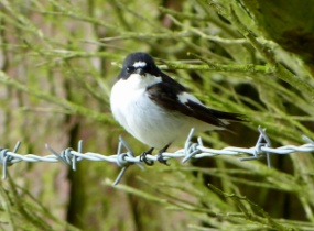 Pied Flycatcher perched on barbed wire against trees North Wales