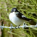 Ruth Miller – Birdwatching Trips – Pied Flycatcher – Blue Sky Marketing.jpg