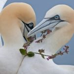 Steve Race – Yorkshire Coast Nature – Landing Page – Northern Gannet – Blue Sky Wildlife