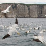 Steve Race – Yorkshire Coast Nature – Tours – Diving Gannets Photography Trips – Blue Sky Wildlife