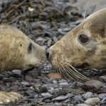 Steve Race – Yorkshire Coast Nature – Wildlife – Grey Seal – Blue Sky Wildlife