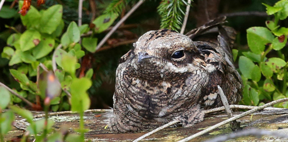 Steve Race – Yorkshire Coast Nature – Wildlife – Nightjar – Blue Sky Wildlife