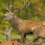 Steve Race – Yorkshire Coast Nature – Wildlife – Red Deer – Blue Sky Wildlife