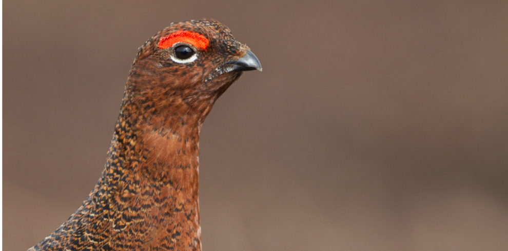 Steve Race – Yorkshire Coast Nature – Wildlife – Red Grouse – Blue Sky Wildlife