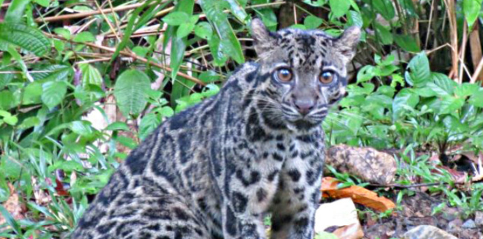 Tabin Wildlife – Wildlife – Clouded Leopard – Blue Sky Wildlife
