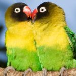 Unique Safaris – Wildlife – Yellow collared love birds – Blue Sky Wildlife