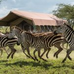 Wildlife-Zebra