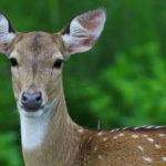 Walk With Jith – Landing Page – Spotted Deer – Blue Sky Wildlife
