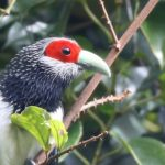 Walk With Jith – Wildlife – Red Faced Malkoha – Blue Sky Wildlife
