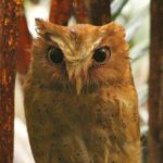 Walk With Jith – Wildlife – Serendip Scops Owl – Blue Sky Wildlife