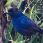 Walk With Jith – Wildlife – Whistling Thrush – Blue Sky Wildlife