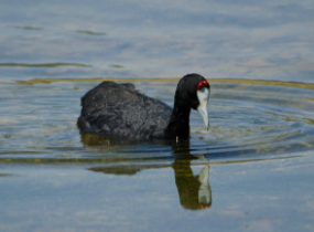 Morocco Birding - Red-knobbed Coot