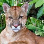 rainforest-expeditions-puma