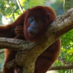 rainforest-expeditions-red-howler-monkey