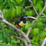 Aracari in Peru Rainforest