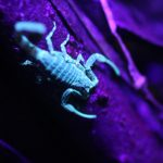 rainforest-expeditions-scorpion