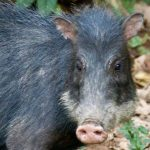 rainforest-expeditions-white-lipped-peccary