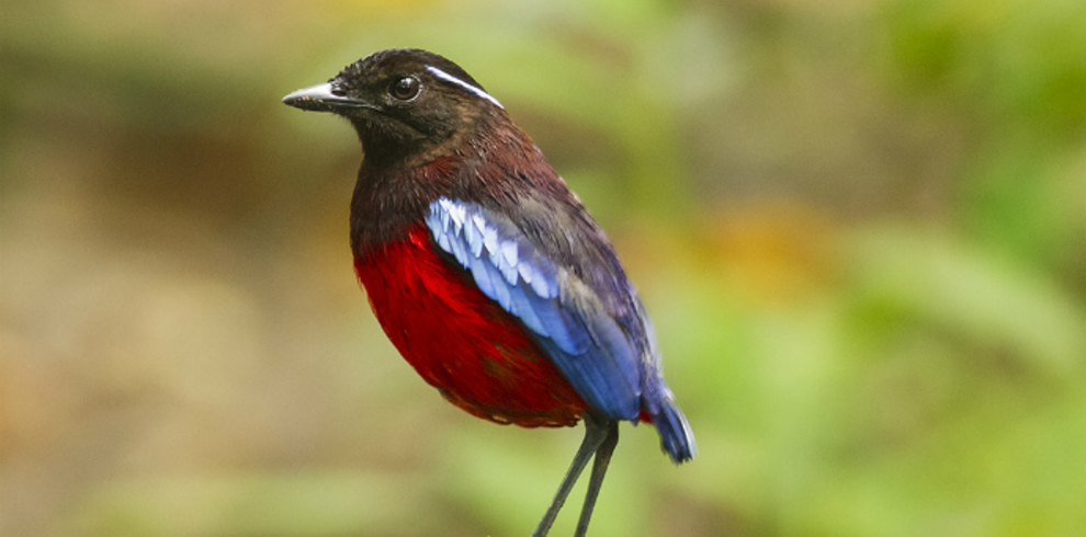 z.Borneo Eco Tours – Wildlife – Black and Crimson Pitta – Blue Sky Wildlife